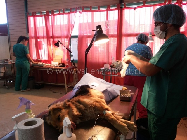 diferentes-esterilizaciones-y-castraciones-en-vallenar-2